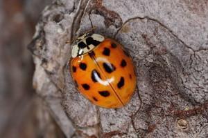 asian-lady-bug-extermination